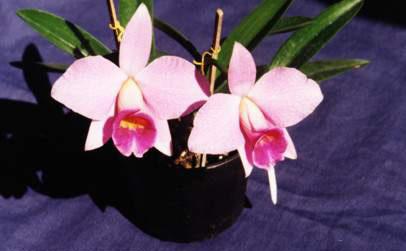 Orquídea Coquetel