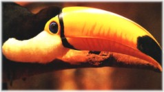 Tucano de Bico de Ouro